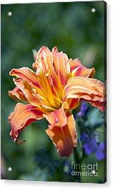 Orange Lily Acrylic Print by Amanda Barcon