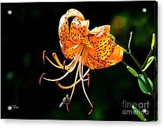 Orange Lily - Lilium Kelleyanum Acrylic Print