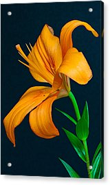 Orange Lily Profile Acrylic Print