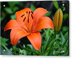 Orange Lily Acrylic Print by Susanne Baumann