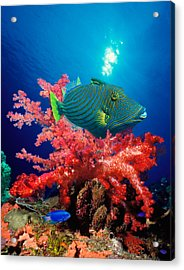 Orange-lined Triggerfish Balistapus Acrylic Print by Panoramic Images