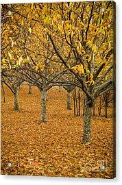 Orange Orchard Acrylic Print by Tim Hester
