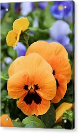 Acrylic Print featuring the photograph Orange Pansies by Elizabeth Budd