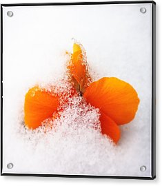 Orange Pansy Flower Covered With White Snow In Spring Acrylic Print