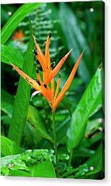 Orange Parrot Heliconia (heliconia Acrylic Print by Susan Degginger