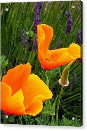 Orange Poppies With Lavender Acrylic Print