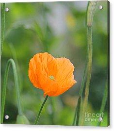 Orange Poppy #2 Acrylic Print by Karin Ubeleis-Jones