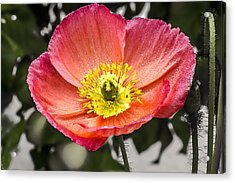 Orange Poppy Acrylic Print