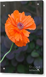 Orange Poppy Acrylic Print by Steve Augustin