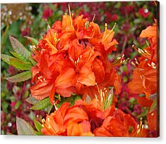 Orange Rhododendron Flowers Art Prints Acrylic Print by Baslee Troutman