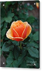 Acrylic Print featuring the photograph Orange Rose by Eva Kaufman