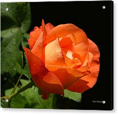 Acrylic Print featuring the photograph Orange Rose by Haleh Mahbod