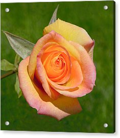 Acrylic Print featuring the photograph Orange Rose by Jon Exley