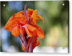 Orange Ruffled Beauty Acrylic Print