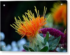 Orange Safflower Acrylic Print