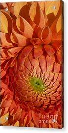 Acrylic Print featuring the photograph Orange Sherbet Delight Dahlia by Susan Garren