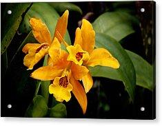 Orange Spotted Lip Cattleya Orchid Acrylic Print