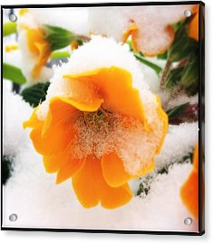 Orange Spring Flower With Snow Acrylic Print