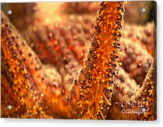 Orange Starfish Acrylic Print by Artist and Photographer Laura Wrede