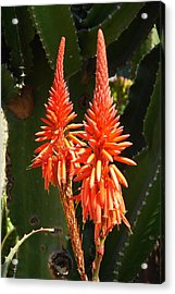 Acrylic Print featuring the photograph Orange Succulent by Lew Davis