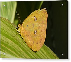Orange Sulphur Acrylic Print by Krista Keck