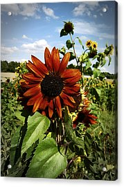 Orange Sunflower Acrylic Print by Nafets Nuarb