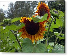 Orange Sunflowers Acrylic Print