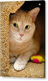 Orange Tabby Cat In Cat Condo Acrylic Print by Amy Cicconi