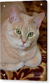 Orange Tabby Cat Poses Royally Acrylic Print by Amy Cicconi