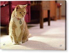 Orange Tabby Housecat Stares Acrylic Print