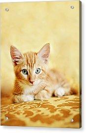 Orange Tabby Kitten Acrylic Print by Andrea Borden