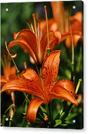Orange Tiger Lilies Acrylic Print by Robert Lozen