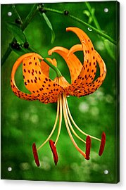 Orange Tiger Lily Acrylic Print