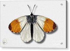 Orange Tip Butterfly - Anthocharis Cardamines Naturalistic Painting - Nettersheim Eifel Acrylic Print