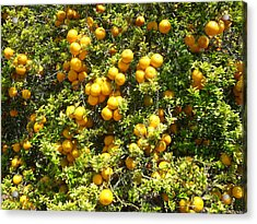 Orange Trees Acrylic Print by Mark Barclay