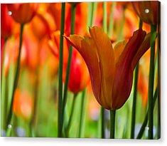 Orange Tulip Garden Acrylic Print