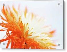 Orange Whisper Acrylic Print by Lisa Knechtel