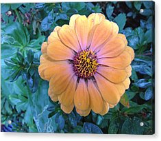Orange Zinnia Acrylic Print by Shirin Shahram Badie