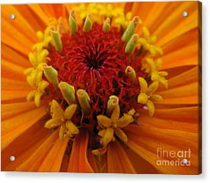 Orange Zinnia. Up Close And Personal Acrylic Print by Ausra Huntington nee Paulauskaite