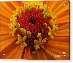 Orange Zinnia. Up Close And Personal Acrylic Print
