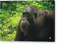Acrylic Print featuring the photograph Orangutan by Dennis Baswell