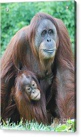 Orangutan Acrylic Print by DejaVu Designs