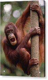 Orangutan Hanging On Tree Acrylic Print by Gerry Ellis