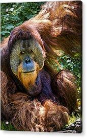 Orangutan Acrylic Print by Rob Amend
