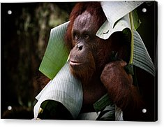Acrylic Print featuring the photograph Orangutan by Zoe Ferrie