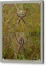 orb weaver spider - Argiope trifasciata - 12SE03 Acrylic Print by Robert G Mears