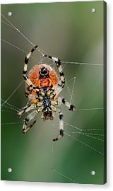 Orb Weaver Spider Acrylic Print by Colin Varndell
