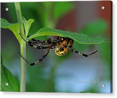 Acrylic Print featuring the photograph Orb Weaver Spider by Karen Slagle