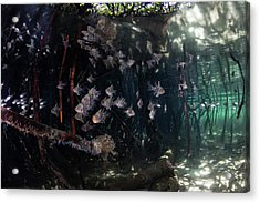 Orbiculate Cardinalfish Swiming Acrylic Print