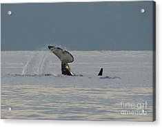 Acrylic Print featuring the photograph Orca At Sunset by Gayle Swigart